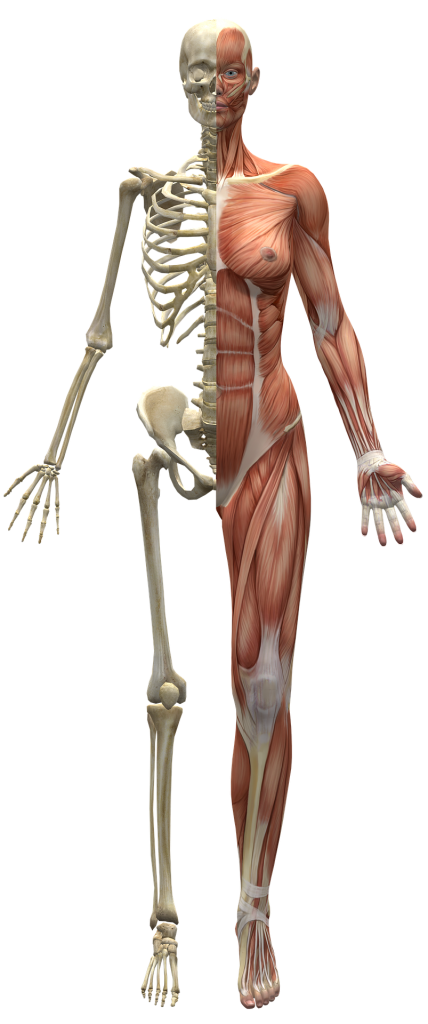 image of a body, half skeleton, half muscles